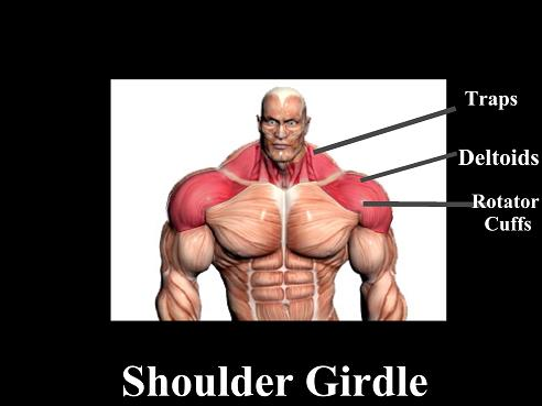 shouldergirdlechart.jpg